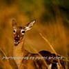 Deer HDR 01