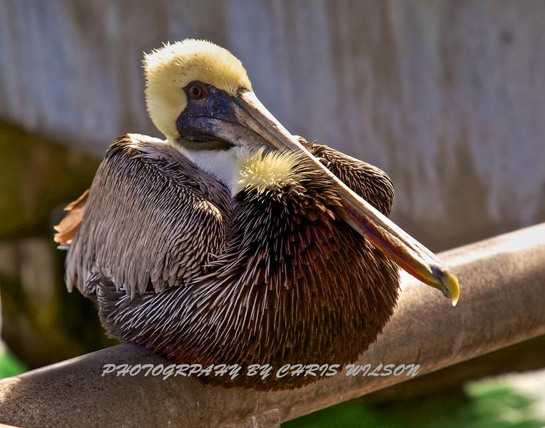 Pelican HDR 1