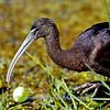 Glassy Ibis