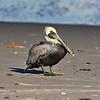 Beach Pelican HDR 1