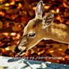 Deer HDR 0001