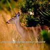 Everglades Deer