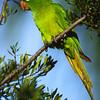 Fla Parakeete