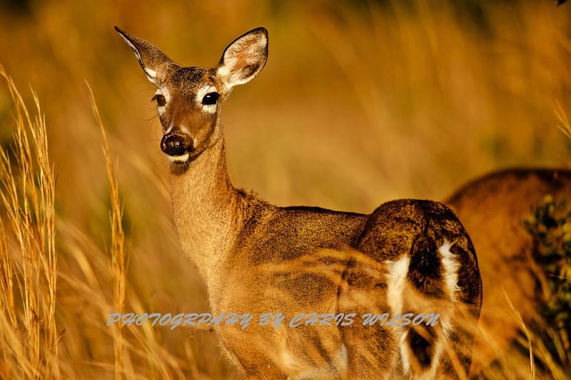Deer HDR 02