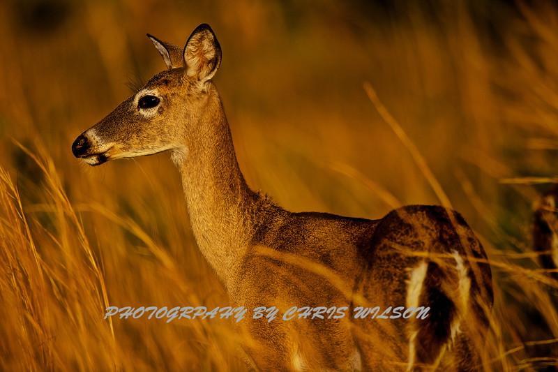 Deer HDR 03