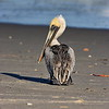 Beach Pelican HDR 2