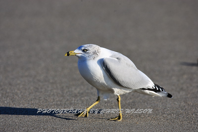 Seagull HDR 02