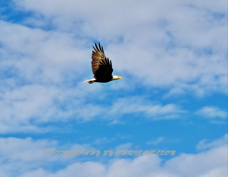 Bald Eagle HDR 07