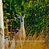 Deer HDR 012