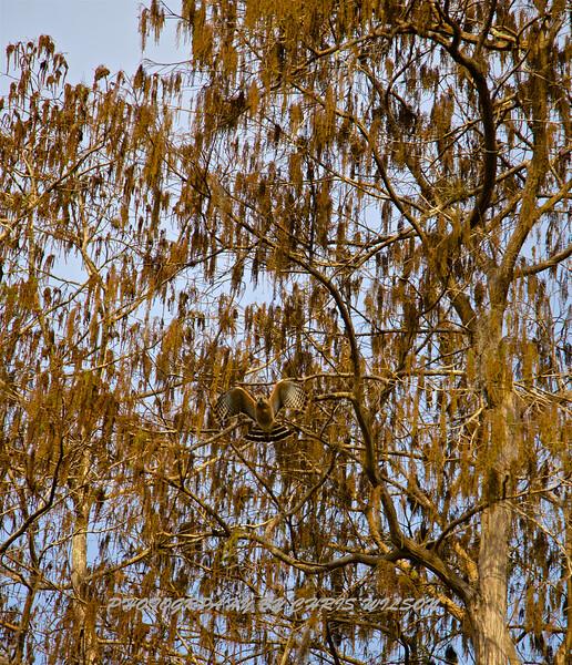 Yellow Tail Hawk