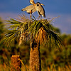 Great Blue Heron 0006