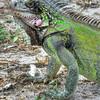 Iguana on St. Thomas