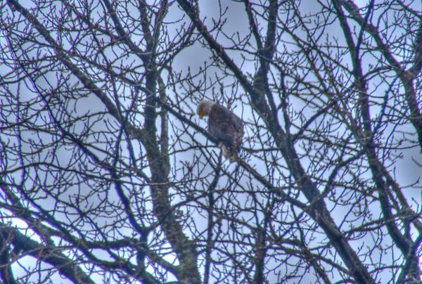A 3 EV HDR of a Bald Eagle perched up a tree on Douglas Island Alaska, near Juneau Alaska.  Shot with a Sony Alpha a300, edited in Photomatix & Lightroom.