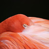 SOLD.  Flamingo, Sleeping Beauty, Homosassa, Florida