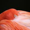 SOLD.  Flamingo, Sleeping Beauty, Homosassa, Florida