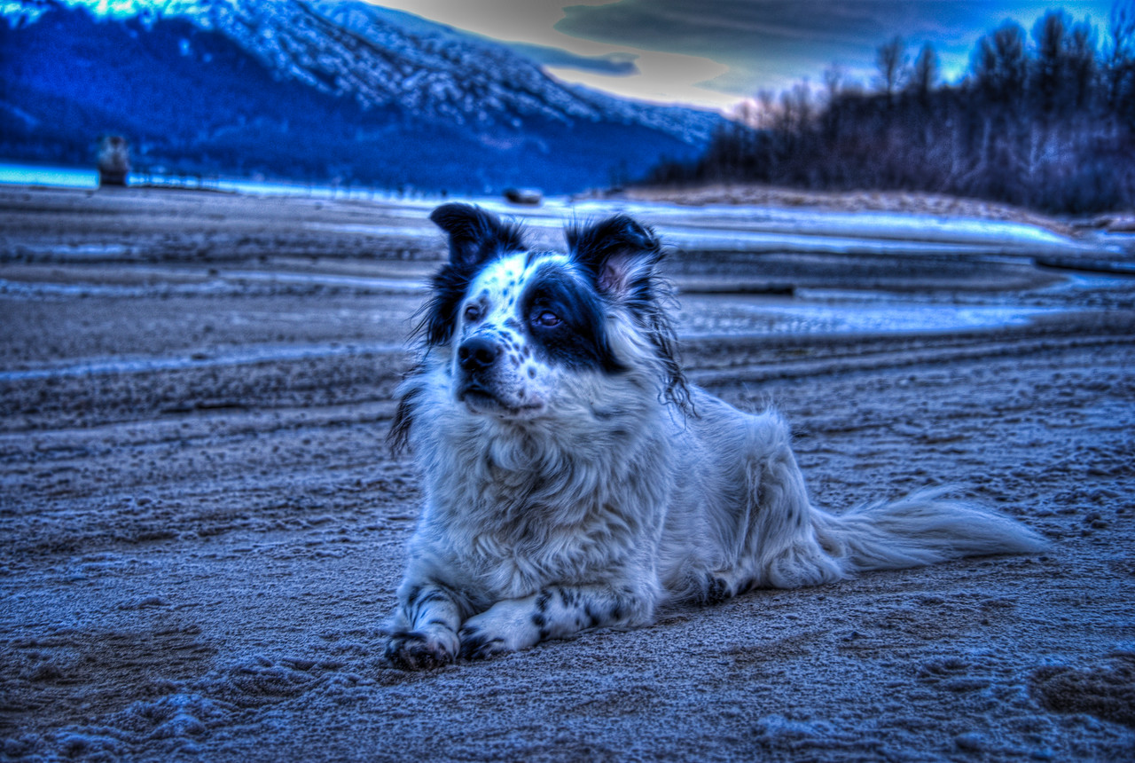A 3 EV HDR Photograph of my dog Bondo, taken at Sandy Beach on Douglas Island Alaska near Juneau Alaska, Bondo has been great to take HDR shots with as he is able to sit still long enough for the multiple exposures to be taken.  Shot with a Sony Alpha a300, edited in Photomatix & Lightroom.