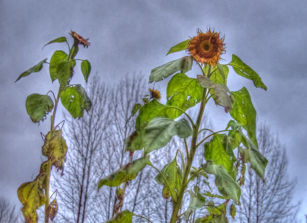 An HDR photograph of sunflowers that I was able to grow in our garden on Douglas Island near Juneau Alaska, this photo was taken in September of 2009 the end of what was one of the warmest summers i've experienced in Juneau.  Photo was taken with a Sony Alpha a300 and edited in Photomatix & Lightroom.