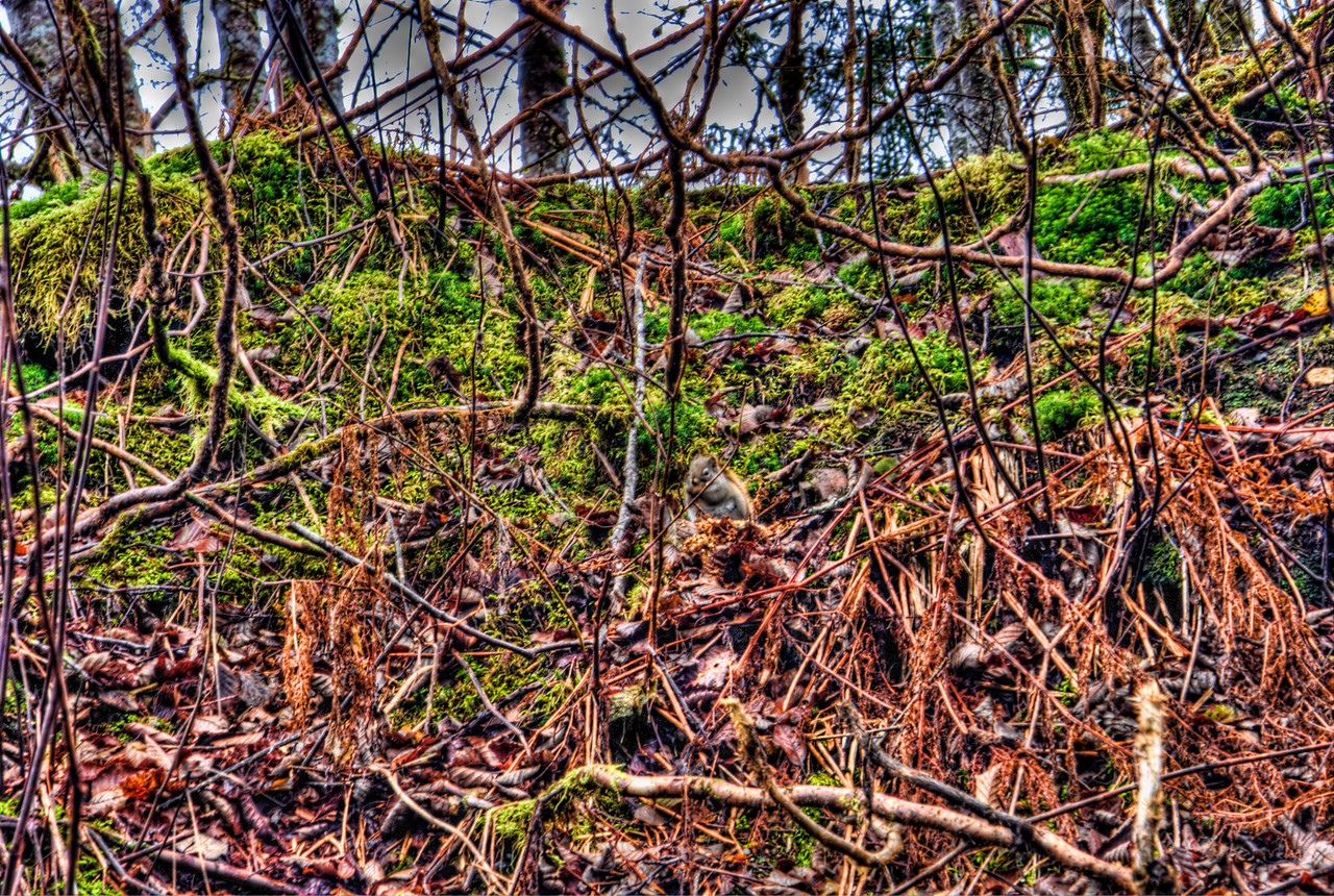 A 3 EV HDR of a Squirrel (center of frame) that was just staring at me as I was hiking on Douglas Island Alaska, near Juneau Alaska.  Animals are normally very difficult to capture multiple exposures of without 'ghosting' or moving between frames.  Shot with a Sony Alpha a300, edited in Photomatix & Lightroom.