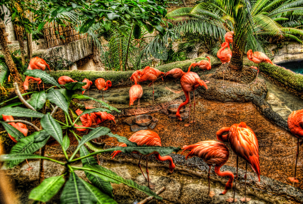 A 3 EV HDR of a flock of Flamingo's at the Dallas Texas Aquarium.  Taken with a Sony Alpha a300, edited in Photomatix & Lightroom.