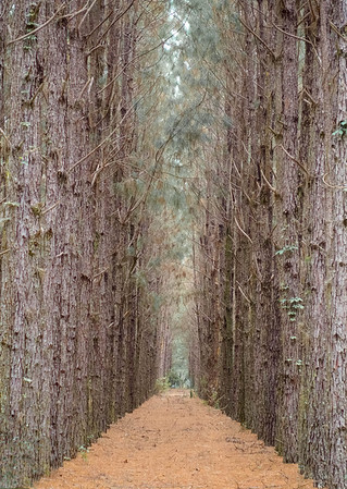 Pine Rows
