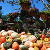 Pumpkins and Gourds for Halloween with Scary Background
