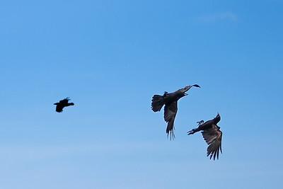 Dive Bombing Birds