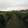Large Vineyard