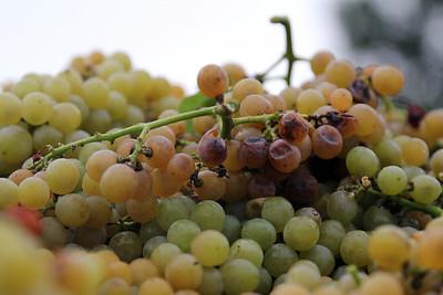One bad grape