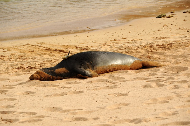 WHILE SOME PEOPLE WERE GETTING MASSAGES I WAS WATCHING A MONK SEAL