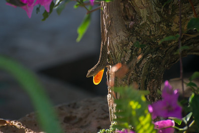 Brown Anole Lizard. Native to Cuba and the Bahamas.