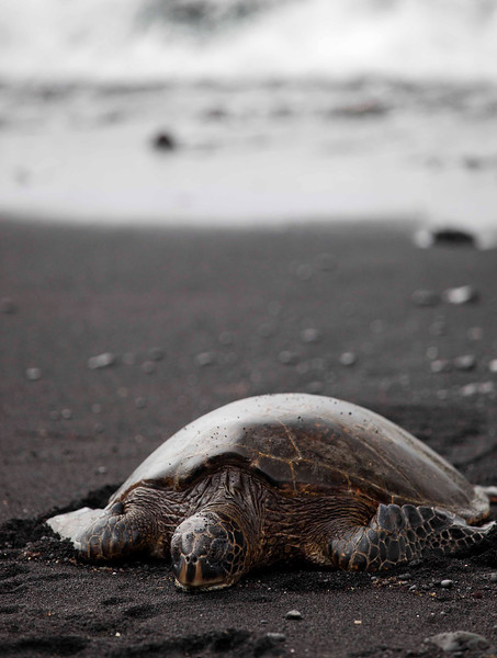 It was great seeing these sea turtles on the black sand beach.