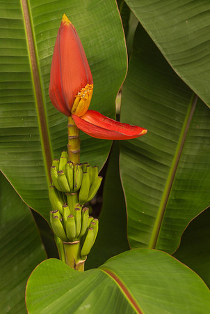 Bananas and Flower - Hilo - Big Island - Hawaii - September 2012
