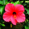 Hbiscus in Maui