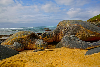 Loving Maui Sea Turtles