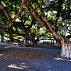 Famous Banyan Tree in Courthouse Square in Lahaina in Maui Hawaii