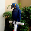 Blue Parrot in Maui