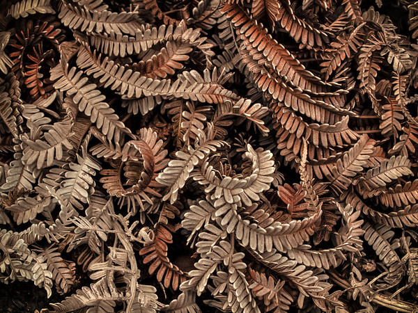 Dry Fern Study - Volcano Nation Park - Big Island Hawaii
