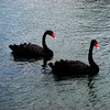 Black Swans in Maui