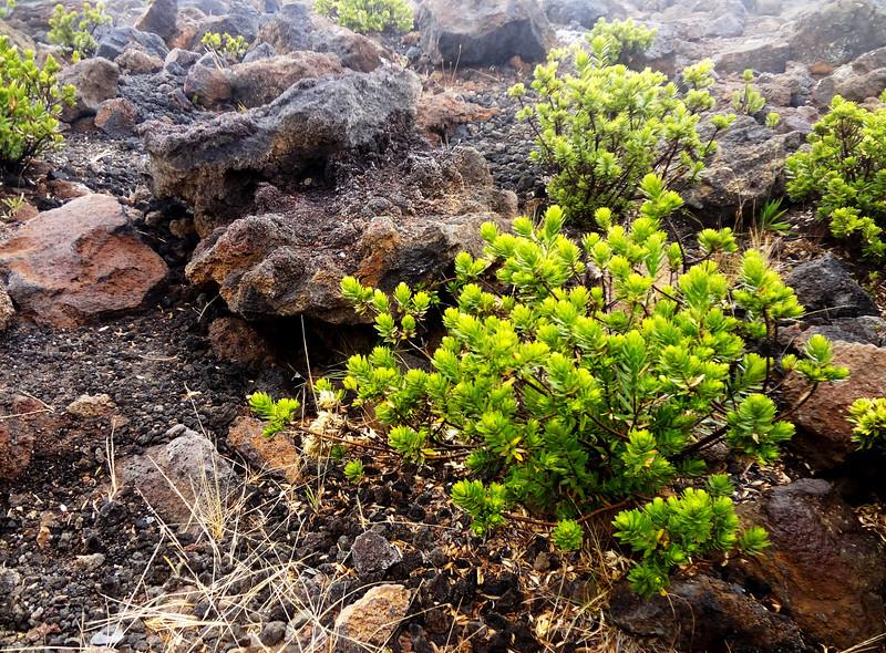 Plants in Maui in Hawaii