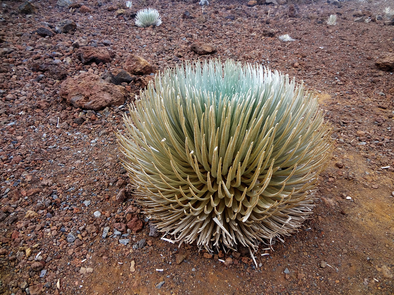 Silversword in Maui