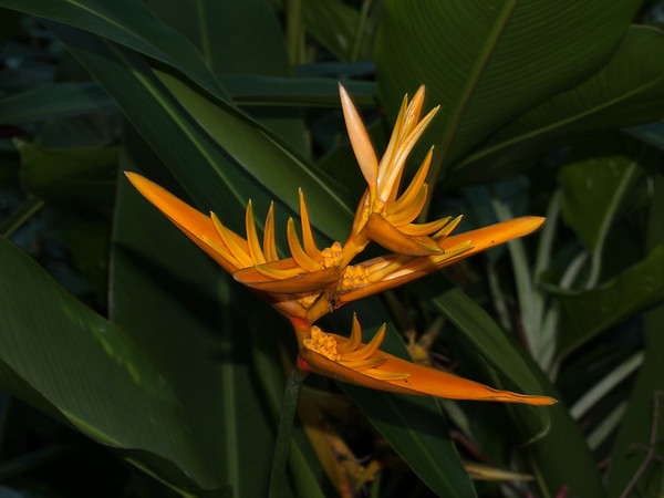 Bird of Paradise - Big Island - Hawaii - December 2006