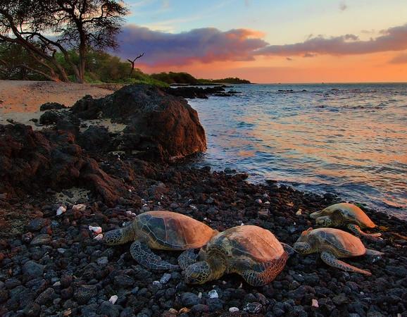 Turtles at Sunset - Big Island - Hawaii - July 2009
