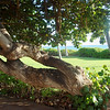 Old Tree in Hawaii