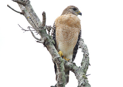 Red Shouldered Hawk Everglades National Park