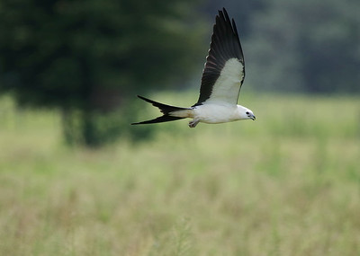 Swallow tailed kite Sumter County, FL