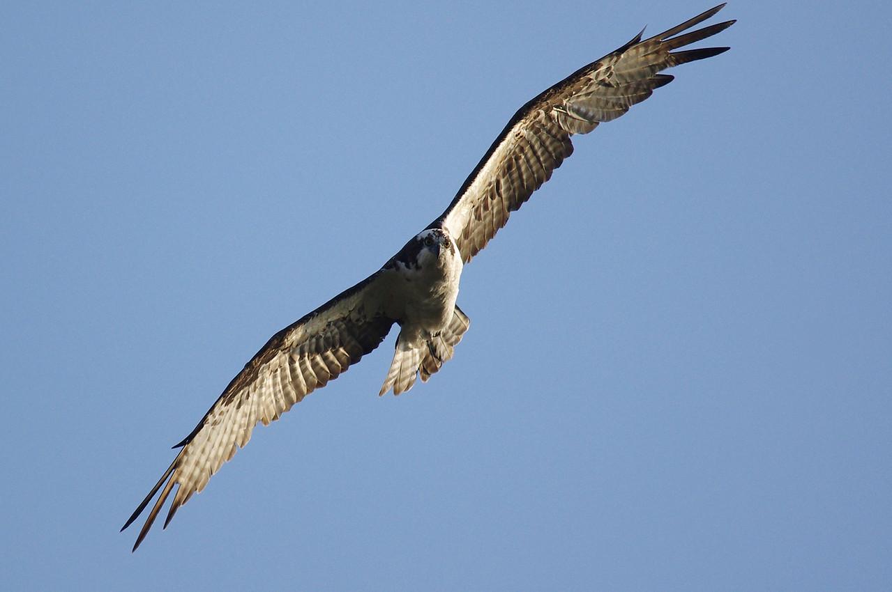 Osprey Anhinga Trail Everglades National Park, South Florida