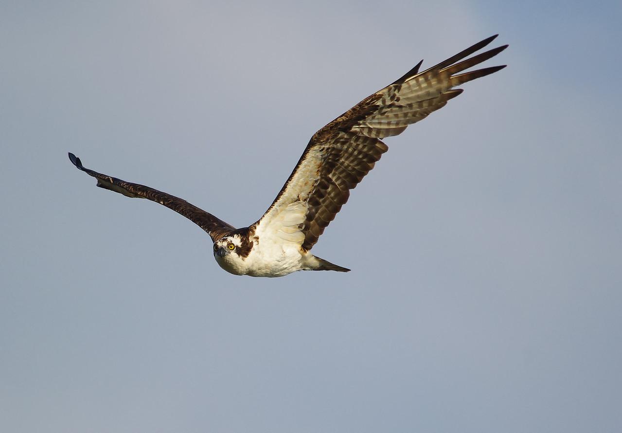Osprey Anhinga Trail Everglades National Park