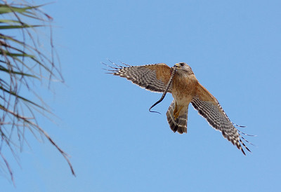 Red Shouldered Hawk with snake Shark Valley, ENP