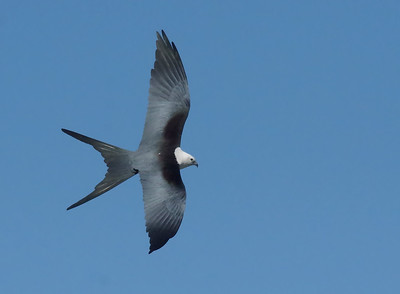 Swallow-tailed Kite topside view (FOS - February 2016)