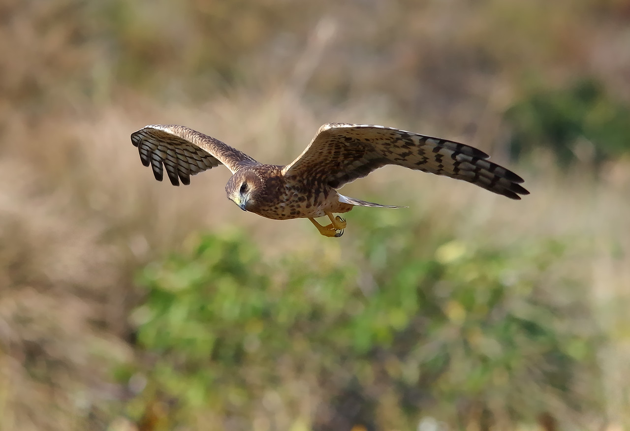northern harrier Green Cay Nature Center